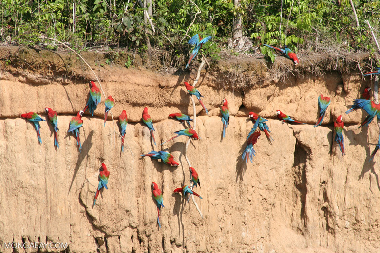 Red-and-green macaws (Ara chloroptera) [manu-Manu_1024_2826]