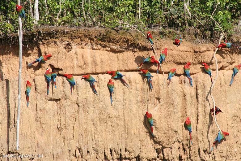Red-and-green macaws (Ara chloroptera) [manu-Manu_1024_2836]