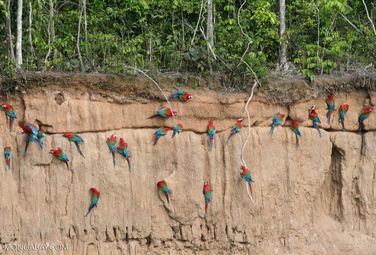 Red-and-green macaws (Ara chloroptera) [manu-Manu_1024_2840]