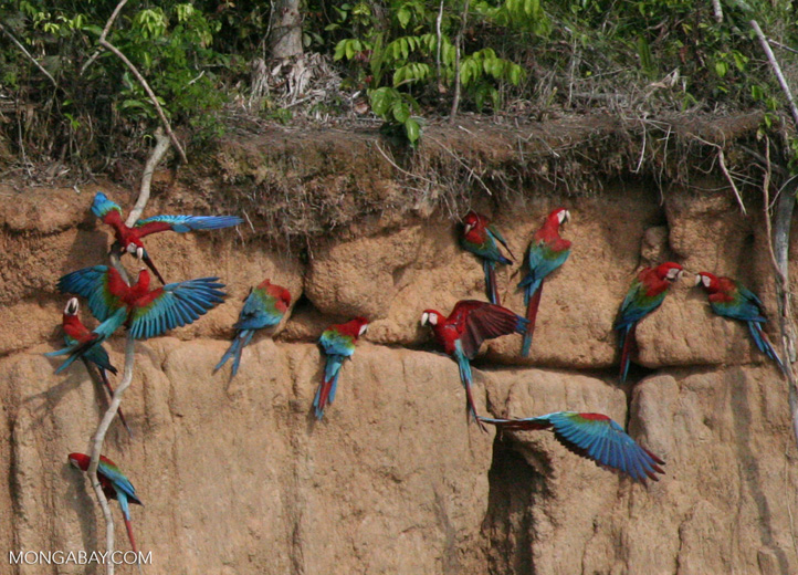 Red-and-green macaws (Ara chloroptera) [manu-Manu_1024_2846a]