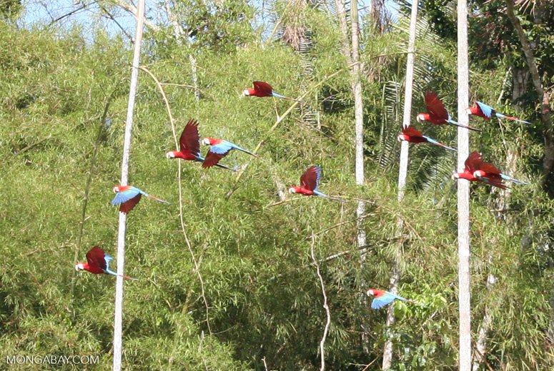 Red-and-green macaws in flight above clay lick