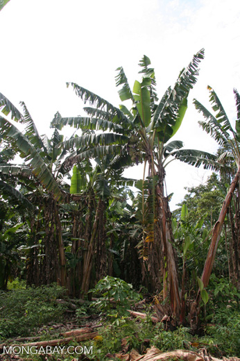 Banana plantation in rainforest