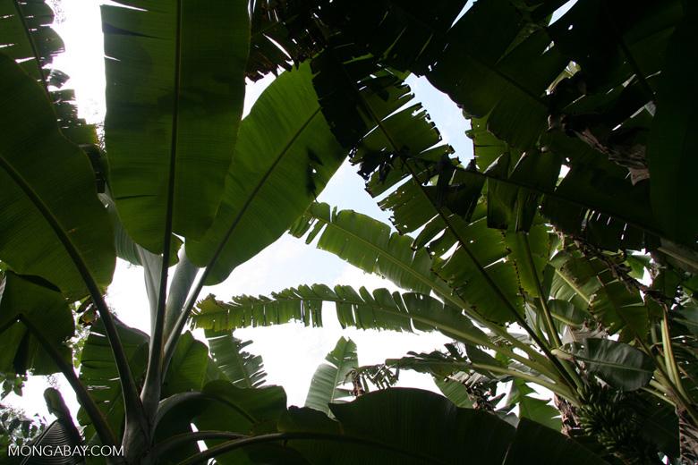 Banana plantation in rainforest [manu-Manu_1024_2883]