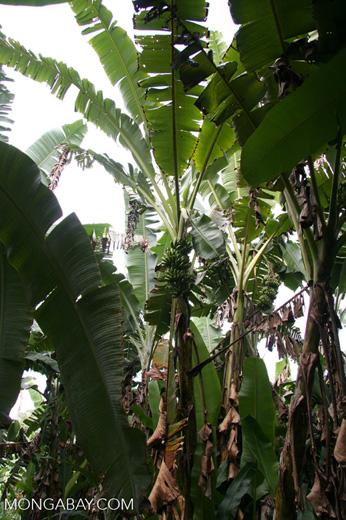 Banana plantation in rainforest [manu-Manu_1024_2884]