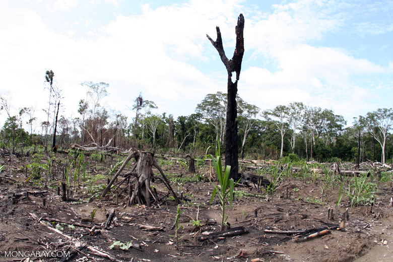 Slash-and-burn agriculture in the Amazon rain forest of Peru [manu-Manu_1024_2894]