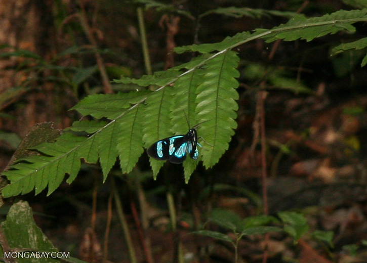 Possibly a morpho butterfly (species unknown)
