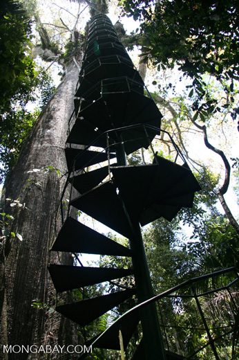 Spiral staircase leading up to the canopy platform situated in a giant Kapok (Ceiba) tree