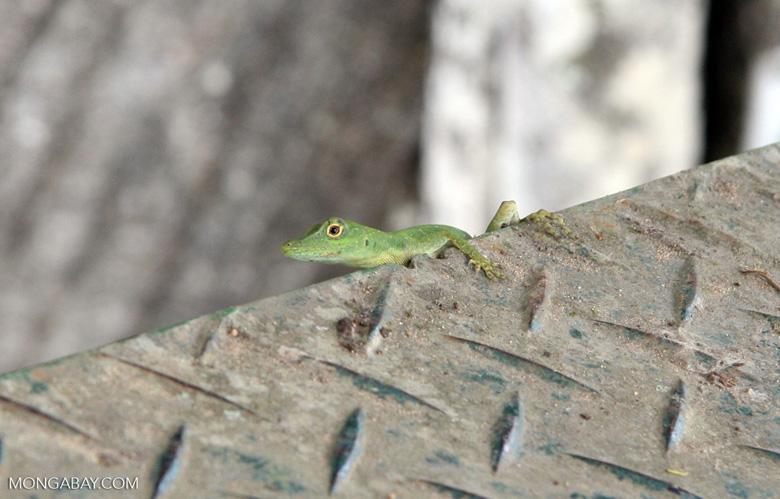 Bright green male anole lizard on canopy tower [manu-Manu_1024_2914]