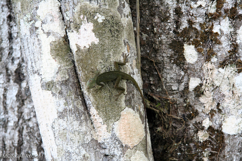 Male anole lizard on trunk of Kapok tree