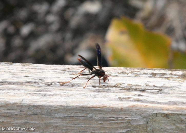Black wasp on canopy platform