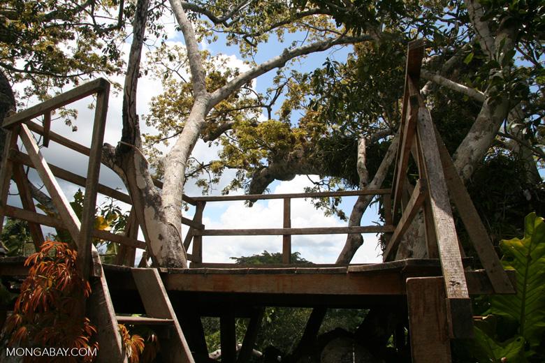 Kapok (Ceiba) tree canopy observation platform