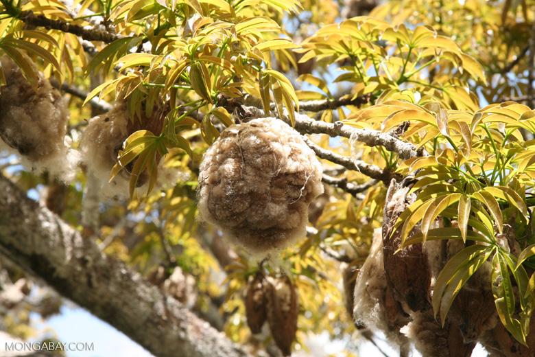 Kapok (Ceiba) cotton as it bursts from pods (closeup)
