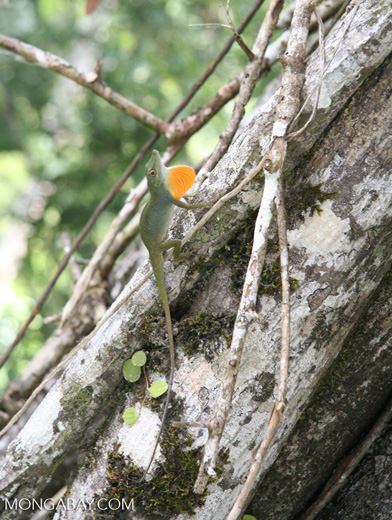Male anole lizard showing its bright orange dewlap in a territorial display