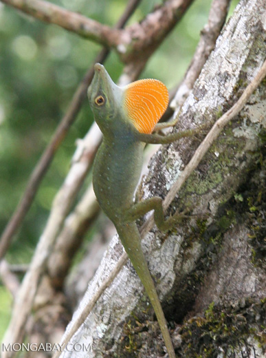 Anole lizard showing its bright orange dewlap in a territorial display