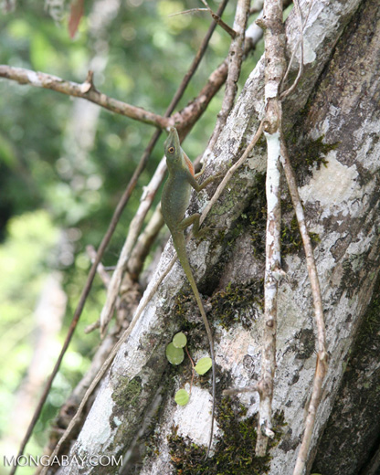 Green anole lizard in canopy