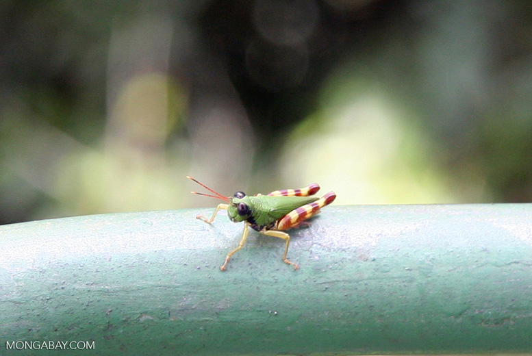 Light green grasshopper with yellow and maroon striped legs