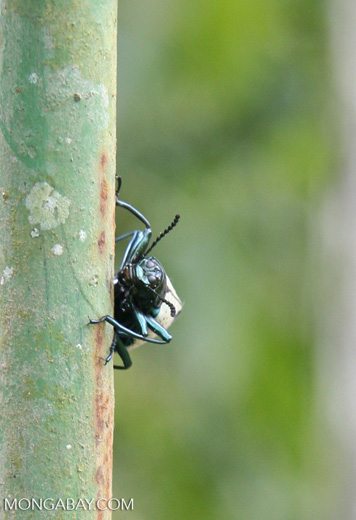 Erotylidae Beetle with black body; white and black back; and turquoise legs