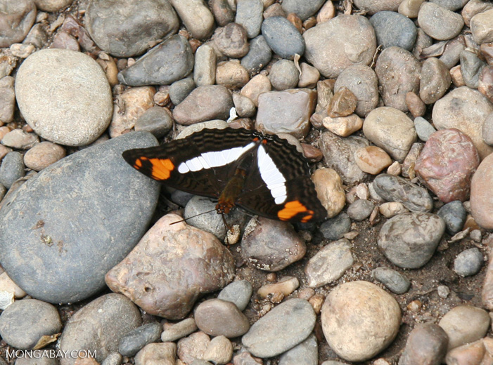 Adelpha iphiclus butterfly on pebbles