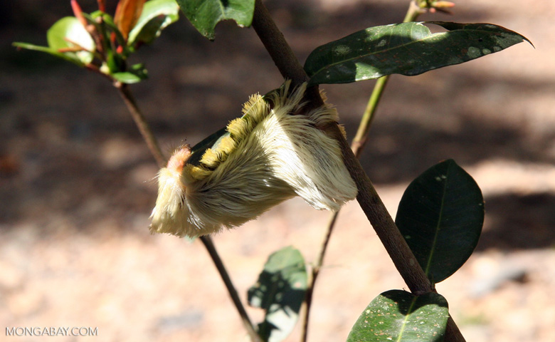 Large white and yellow fury caterpillarthat resembles a shitzu