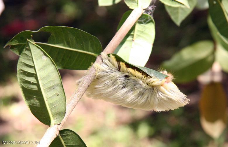 Large white and yellow fury caterpillarthat resembles a shitzu [manu-Manu_1024_3040]
