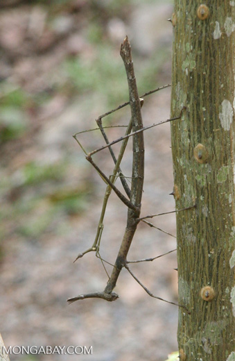 Walking stick insects mating