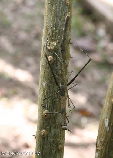 Proscopias' grasshopper from the Proscopiidae family