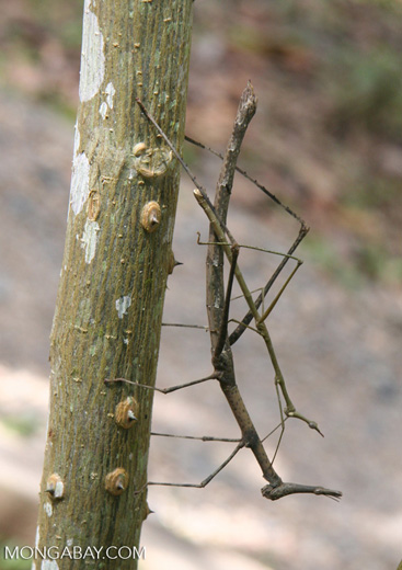 Walking stick insects mating (Proscopiidae family)
