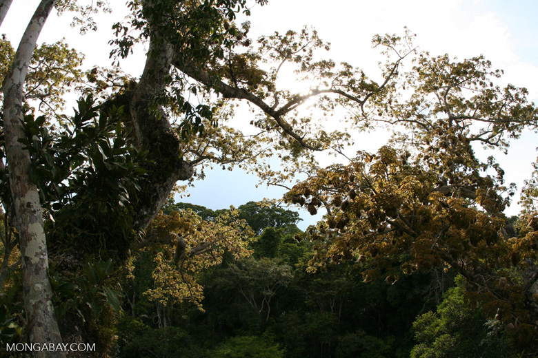 Kapok (Ceiba) cotton tree