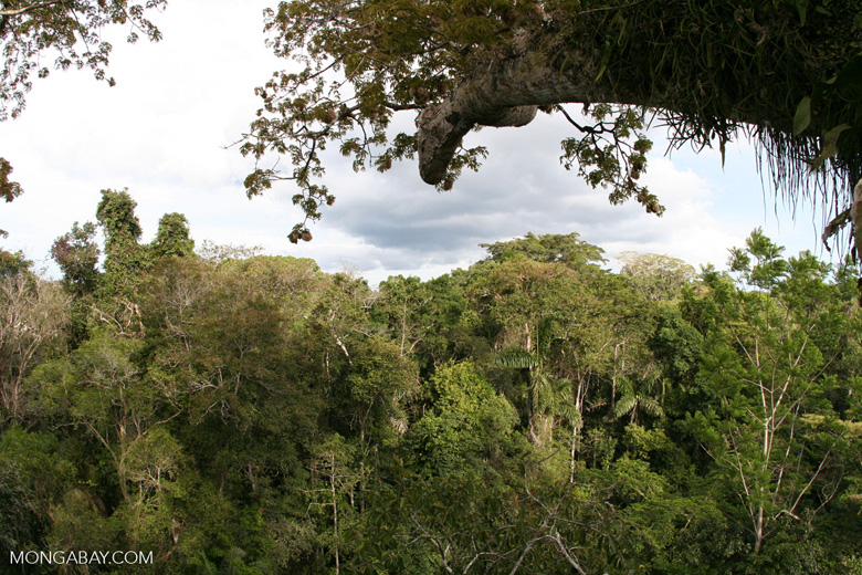 View of rain forest canopy from platform in Kapok tree