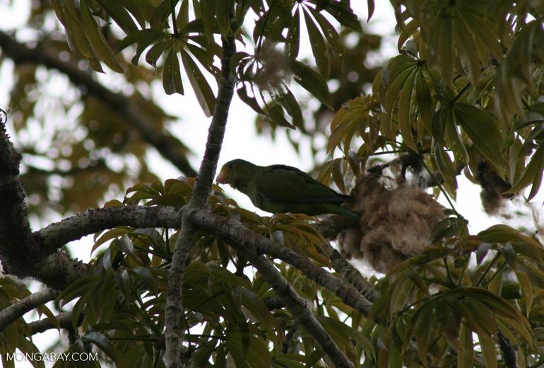 Cobalt-winged parakeet (Brotogeris cyanoptera) in Kapok tree [manu-Manu_1024_3069]