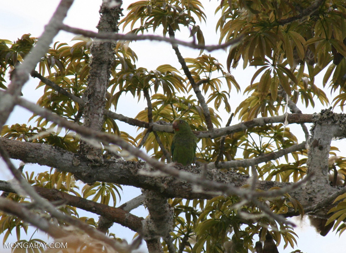 Cobalt-winged parakeet (Brotogeris cyanoptera) feeding on Kapok seeds