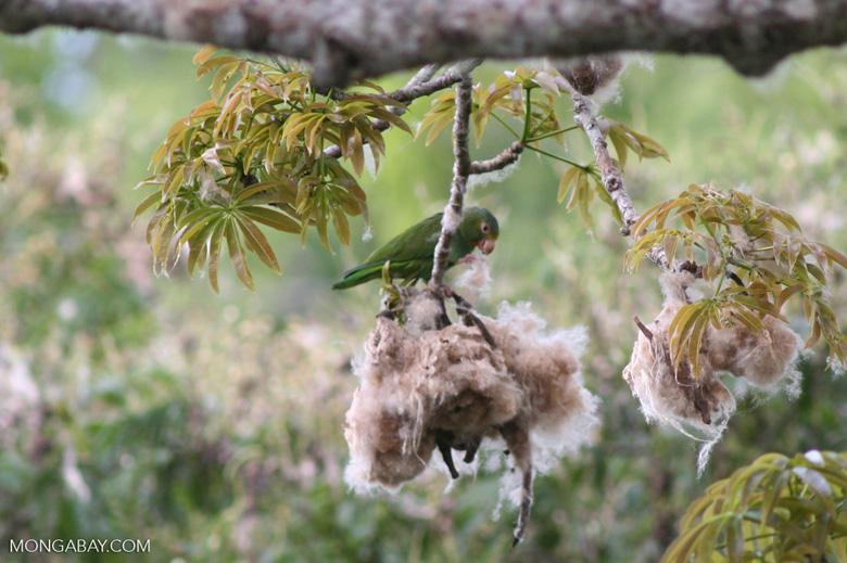 Cobalt-winged parakeet (Brotogeris cyanoptera) feeding on Kapok seeds [manu-Manu_1024_3075a]