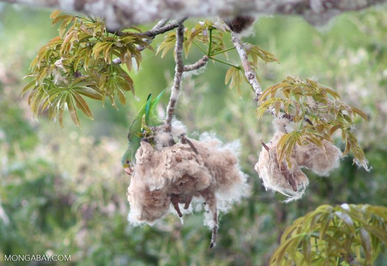 Cobalt-winged parakeet (Brotogeris cyanoptera) feeding on Kapok (Ceiba) seeds