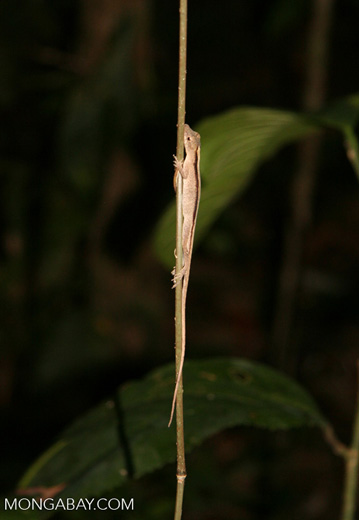 Anole lizard on vine