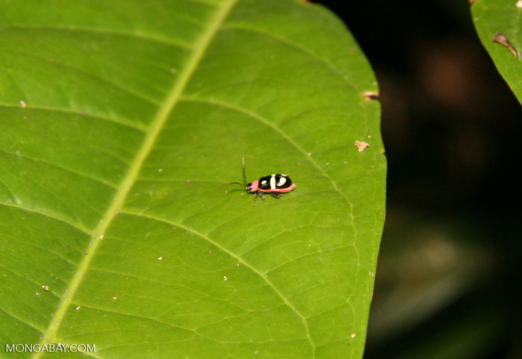 Small black, red, yellow, and white Leaf Beetle, family Chrysomelidae