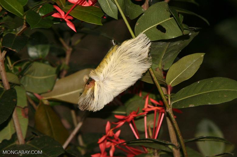 Shitzu-like caterpillar; white and yellow fur