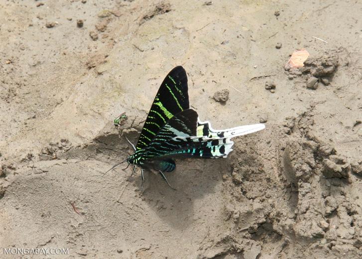 Urania leilus day-flying or diurnal moth