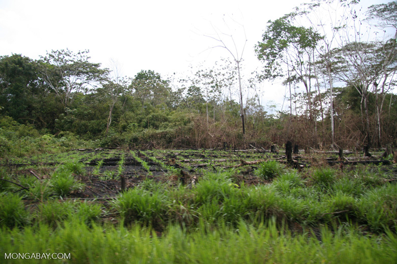 Crops planted after slash-and-burning of rainforest