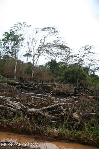 Felled trees in Peruvian rainforest