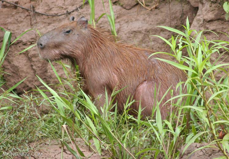 Capybara on bank of the Rio Tambopata