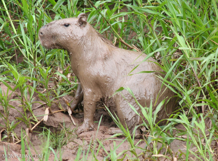 Capybara totally covered in mud on bank of the Rio Tambopata
