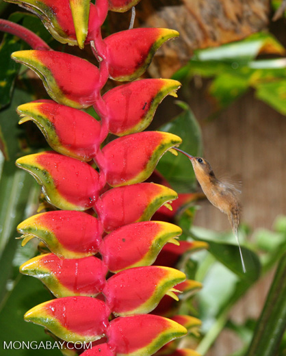 Hummingbird feeding on Heliconia flower