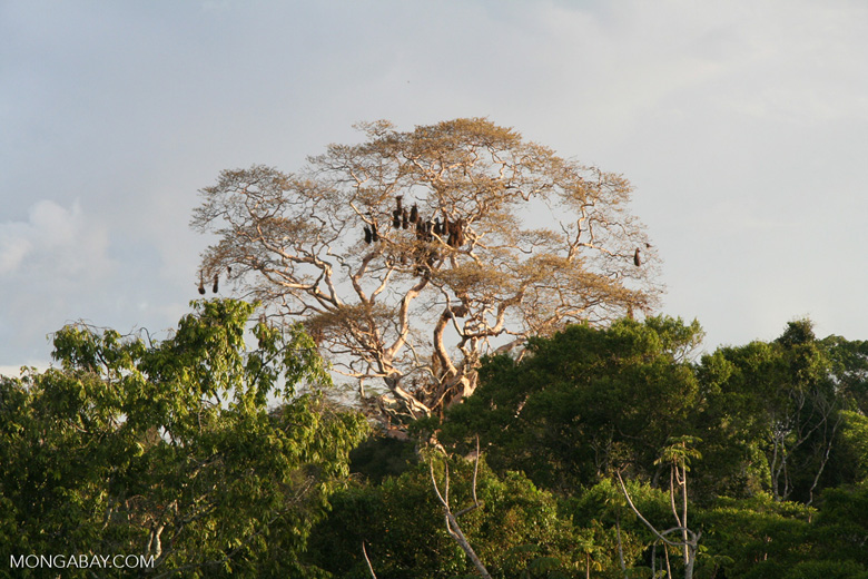 Hanging Oropendula nests in canopy tree