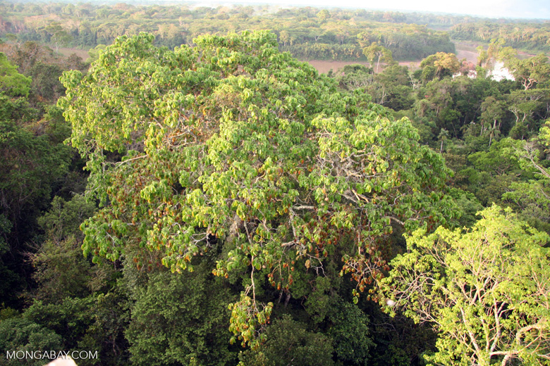 Brazil nut tree with Tambopata river in background