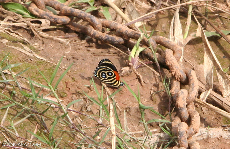 Callicore cynosura butterfly feeding on minerals from a muddy river bank