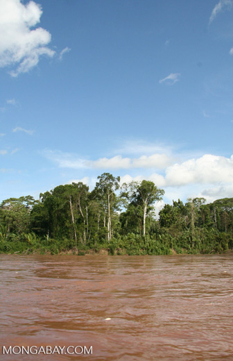Forest along bank of Rio Tambopata