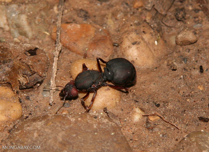 Ginormous ant on forest floor