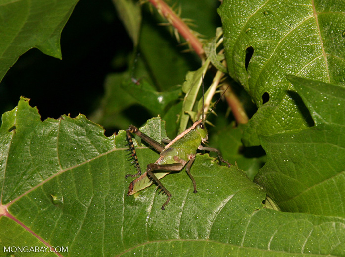 Green grasshopper with gray-black legs and a yellow stripe down its back