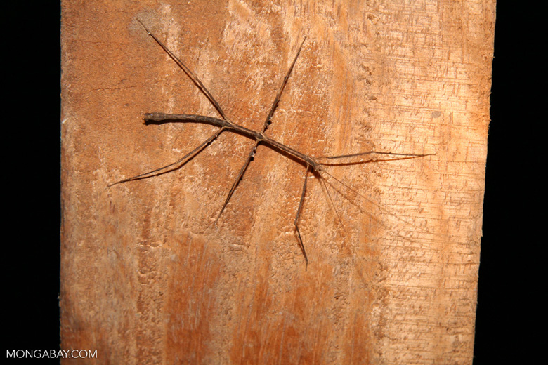 Thin stick insect on tree trunk