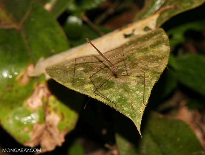 Stick insect in the Amazon rain forest